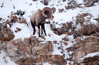 Bighorn Sheep, Ovis canadensis photographed by Jeff Wendorff