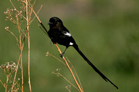 Magpie Shrike, Corvinella melanoleucus. Also Long-tailed Shrike.