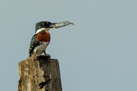 Green Kingfisher (Male) with Prey