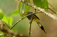 Long-tailed Silky-flycatcher - Costa Rica