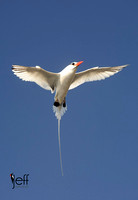 Red-billed Tropicbird, Phaethon aethereus. Also Boatswain Bird