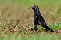 Groove-billed Ani in the USA