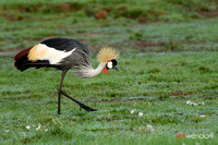 Grey Crowned Crane in Kenya