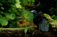 Guans & Chachalacas - Cracidae