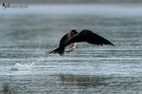 Magnificent Frigatebird, catching a fish
