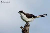 Grey-backed Fiscal (Shrike) in Tanzania