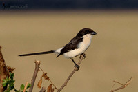 Long-tailed Fiscal (Shrike) in Tanzania