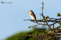 Red-backed Shrike in Kenya