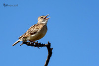Rufous-Naped Lark singing in the Masai Mara
