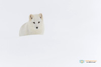 White Out - Arctic Fox
