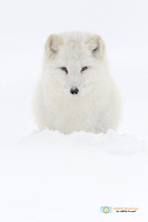 I See You - Arctic Fox
