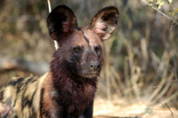 Grisly Wild Dog after the hunt in South Africa