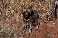 Wild Dog Pup at the Den in Madikwe