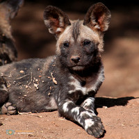 African Wild Dog Portrait in South Africa