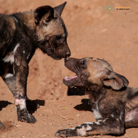 Wild Dog Pups Gretting each other in South Africa