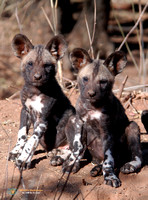 African Wild Dog Pups in South Africa