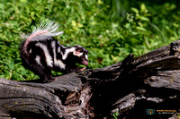 Strike a Pose - Spotted Skunk