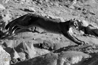 Leaping Cougar - Black & White