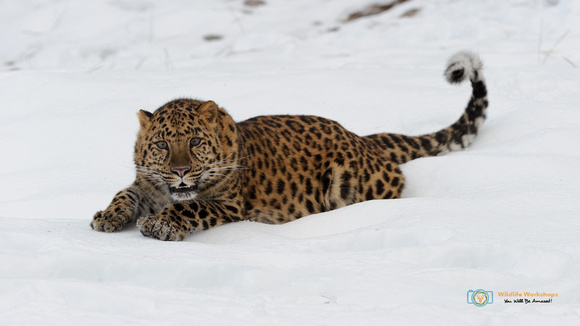 Stretched Out - Amur Leopard