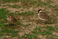 Fischer's Sparrow-lark (Male and Female) in Tanzania