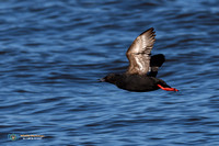 Black Guillemot Calling in Flight