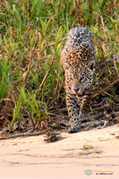 Wary Jaguar approaching the river
