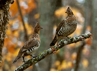 Ruffed Grouse, Bonasa umbellus