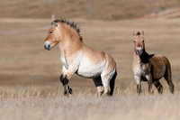 Defending the Herd, Przewalski's Horse - Khustain Mongolia