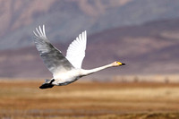 Whooper Swan in the Altai Mountains of Mongolia