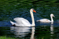 Mute Swan with Cygnet