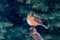 American Robin in a Snowstorm