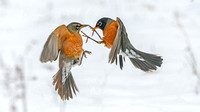 American Robin Interaction