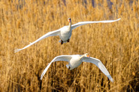 Wait What? - Mute Swans in Flight