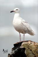 Glaucous-winged Gull - 1st Year