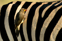 Yellow-billed Oxpecker, Buphagus africanus