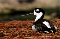 Avocets and Stilts - Recurvirostridae