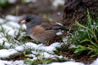 Pink-sided Junco, Junco hyemalis mearnsi. Also Dark-eyed Junco
