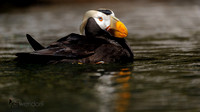 Tufted Puffin, Fratercula cirrhata. Also Crested Puffin