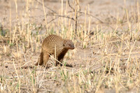 Banded Mongoose heading for the den