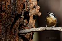 Nuthatches - Sittidae