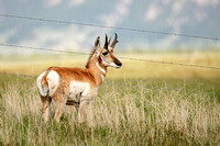 Pronghorn, Antilocapra americana. Also Prong Buck and Pronghorn Antelope