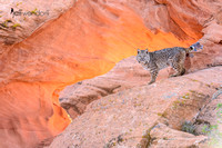Bobcat in a glowing natural red rock arch in Utah