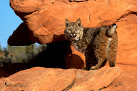 Bobcat in the red rocks of Utah