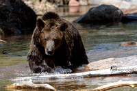 Grizzly Bear in a creek