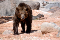 Grizzly Bear walking among some rocks