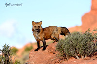 Red Fox on a ridgeline in Utah