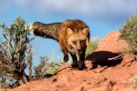 Red Fox running on a ridge in the Utah desert