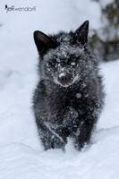 Silver Fox covered in snow