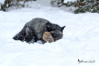Silver Fox with prey in winter