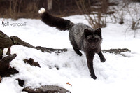 Silver Fox jumping a log in the winter
